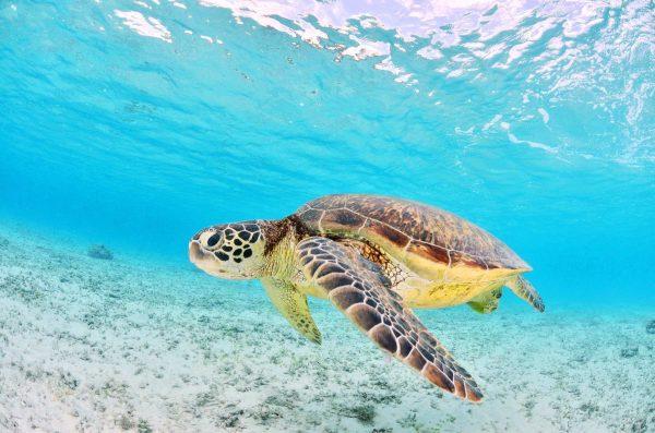 Go swimming with turtles on your Port Douglas holidays port douglas cruises